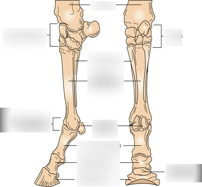 horse muscle and bone diagram sony cdx l600x wiring metacarpal bones quizlet location