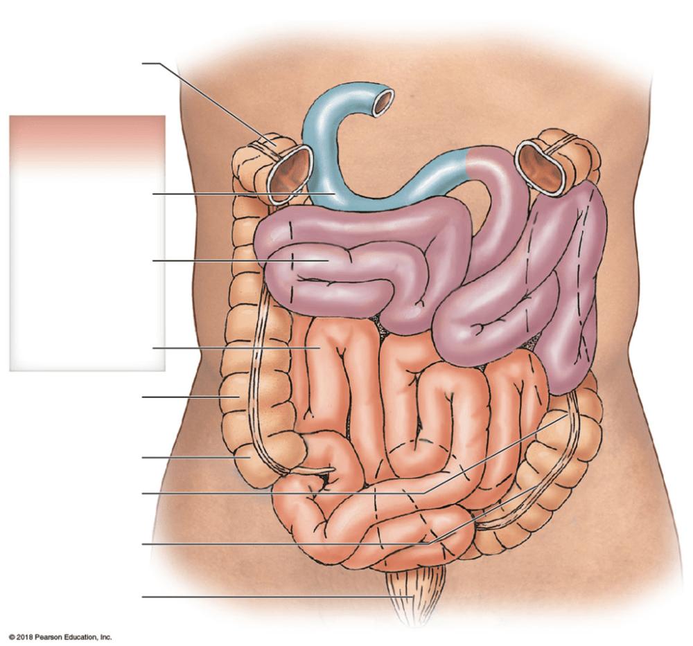 medium resolution of regions of the small intestine