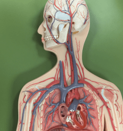 major veins of the chest neck and arms [ 839 x 1024 Pixel ]