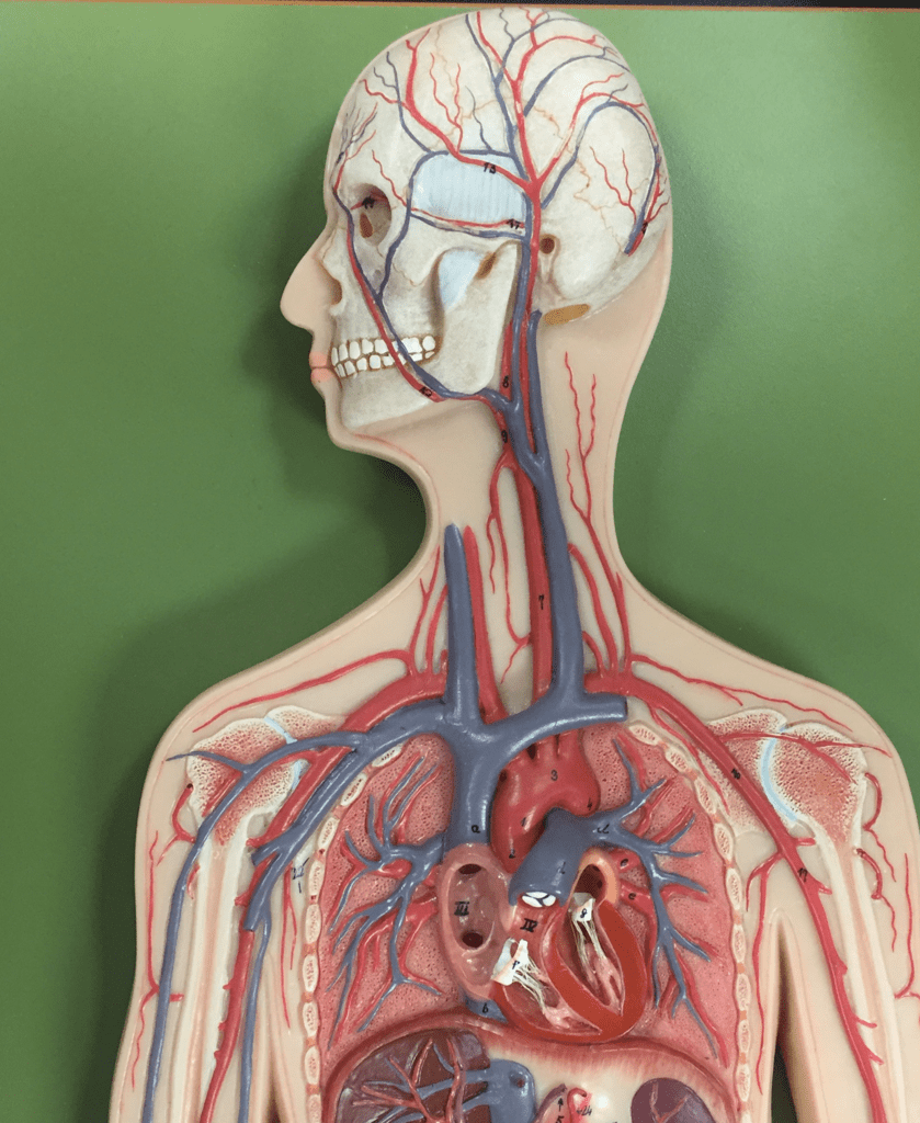 hight resolution of major veins of the chest neck and arms