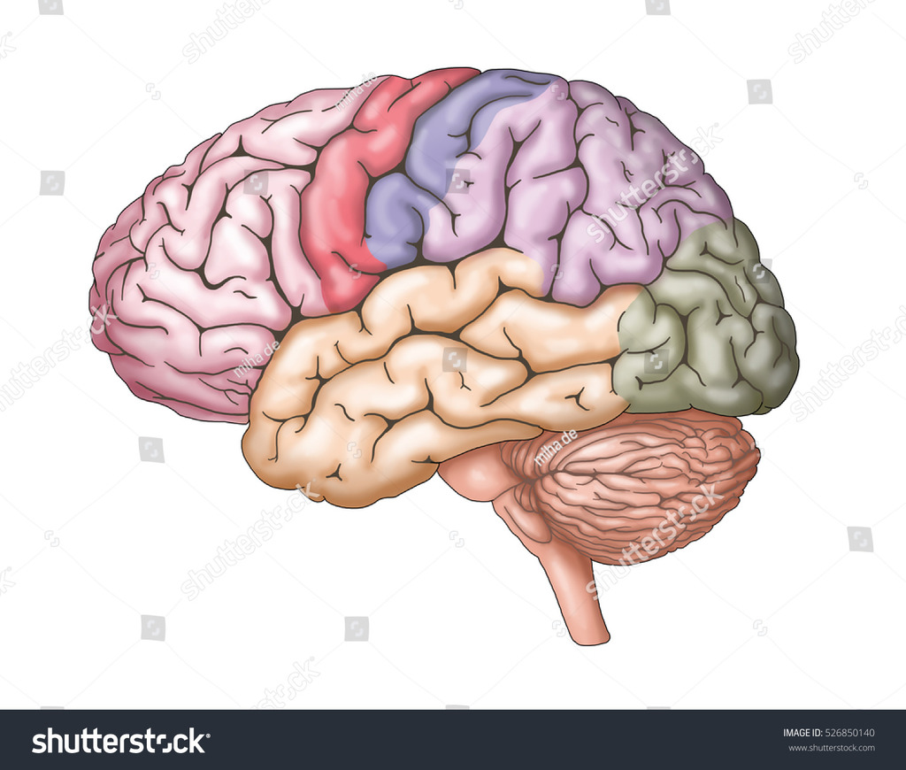 hight resolution of brain diagram labeled