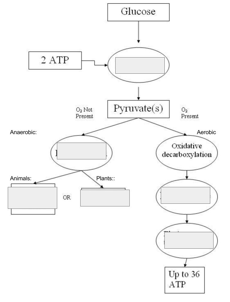 Cellular Respiration Flow Chart : cellular, respiration, chart, Cellular, Respiration, Chart, Diagram, Quizlet