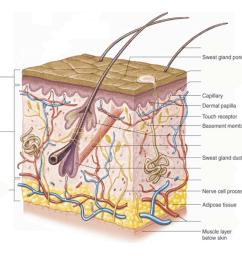 skin system diagram [ 970 x 847 Pixel ]