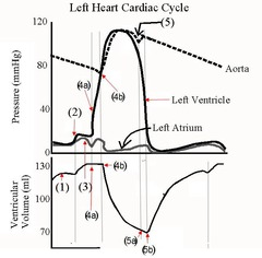 Chapter 19 Circulatory System: The Heart part2 Flashcards