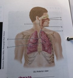 exercise 32 figure 32 1 organs of the respiratory system [ 768 x 1024 Pixel ]