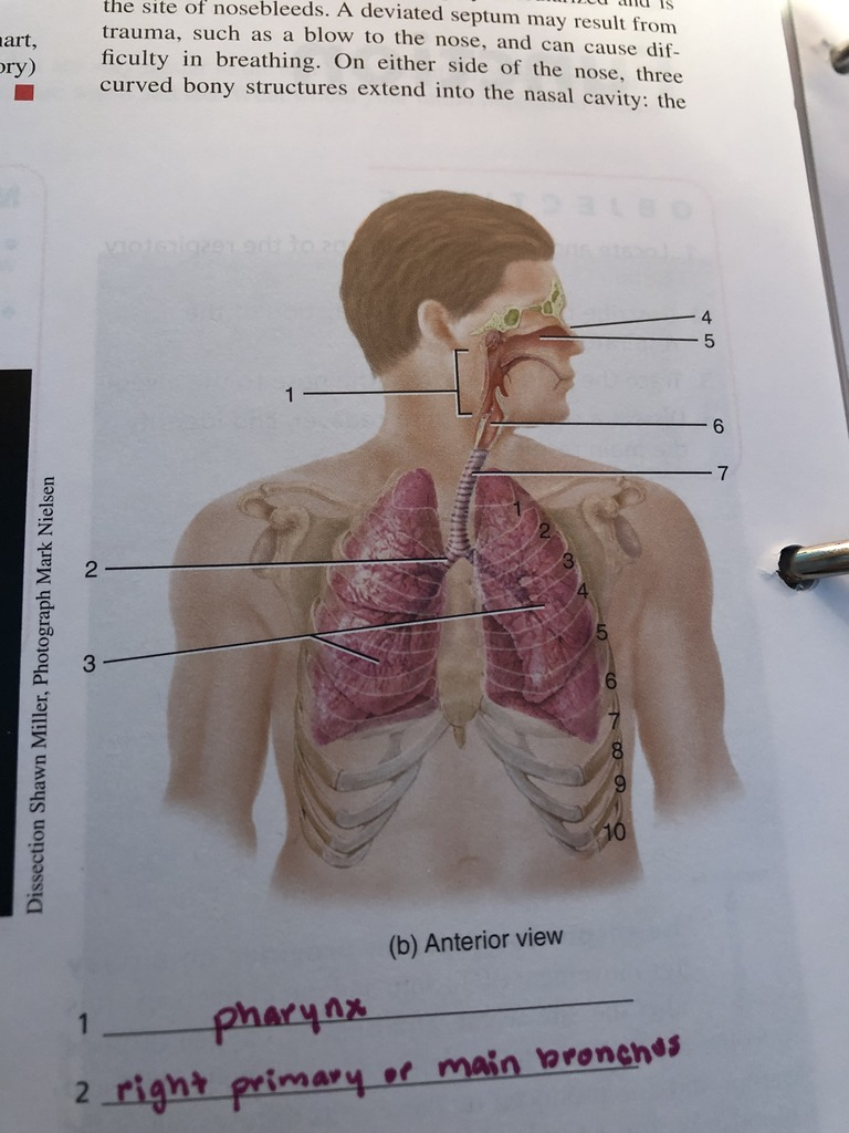 medium resolution of exercise 32 figure 32 1 organs of the respiratory system