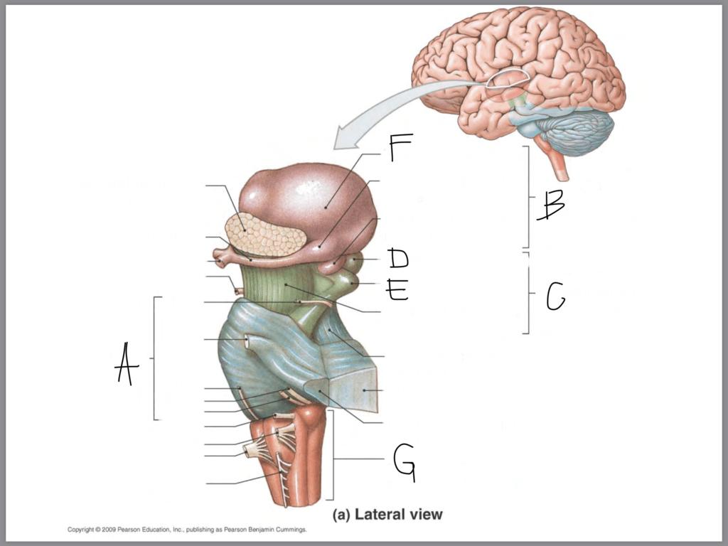 hight resolution of brain stem diagram