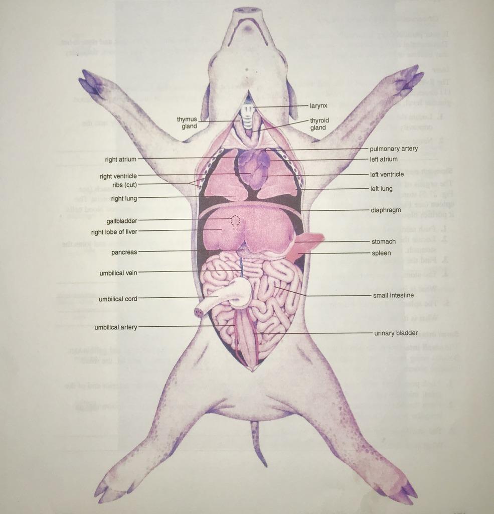 hight resolution of internal anatomy of the fetal pig figure 27 5 diagram quizlet fetal pig body diagram