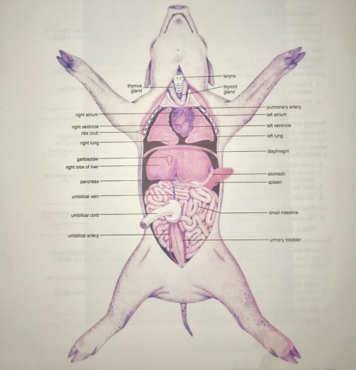 small resolution of internal anatomy of the fetal pig figure 27 5 diagram quizlet fetal pig body diagram