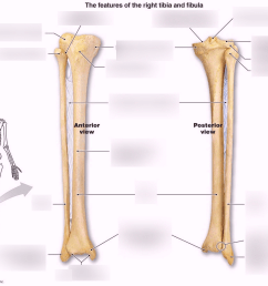 tibia fibula diagram wiring diagrams konsult fibula diagram labeled [ 1024 x 821 Pixel ]