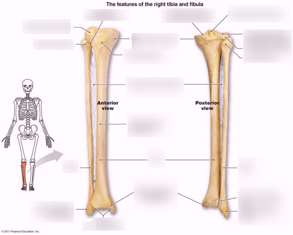hight resolution of tibia fibula diagram wiring diagrams konsult fibula diagram labeled