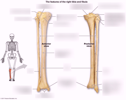 small resolution of tibia fibula diagram wiring diagrams konsult fibula diagram labeled