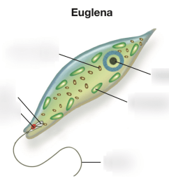 parts of euglena [ 1024 x 851 Pixel ]