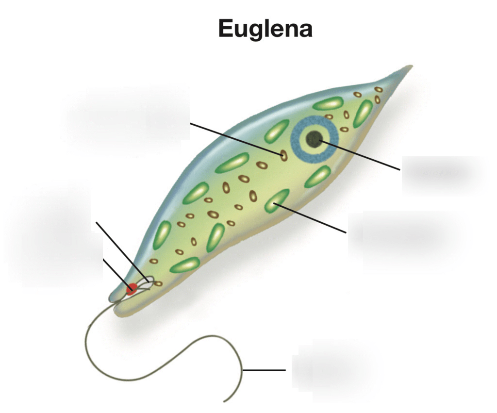 hight resolution of parts of euglena