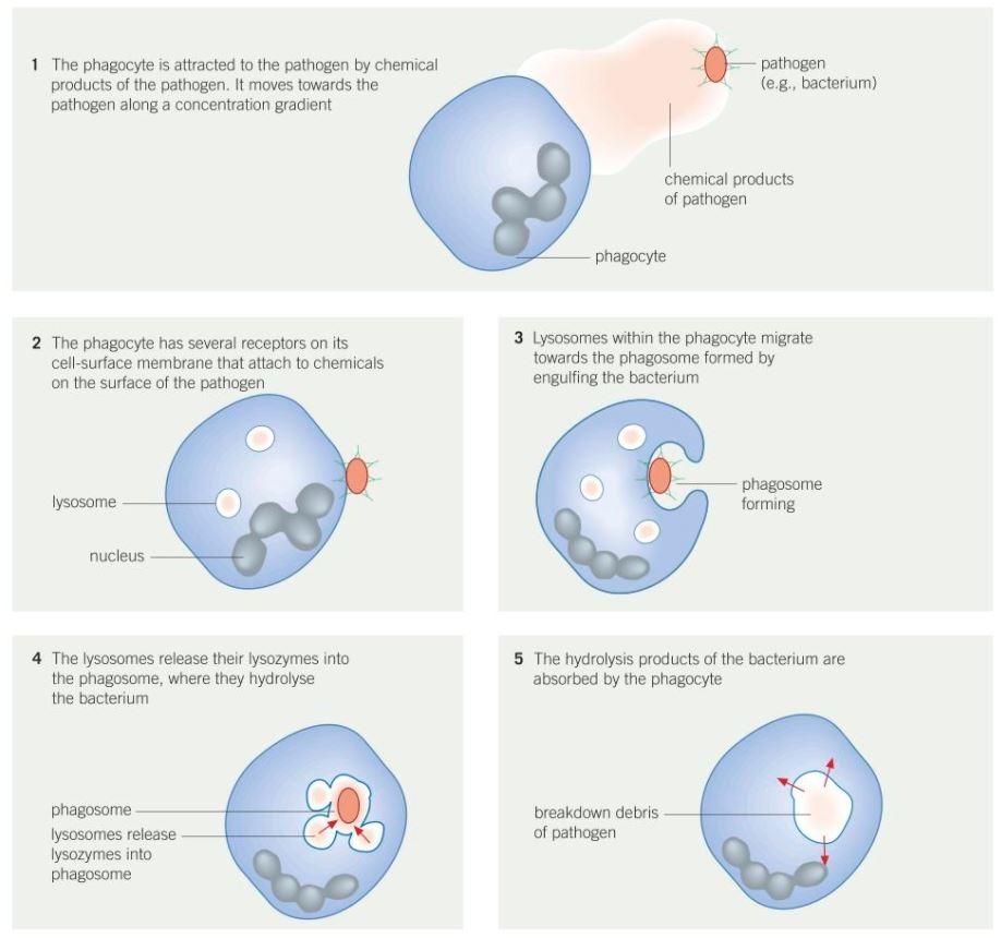 medium resolution of 5 2 phagocytosis
