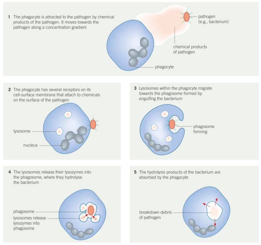 hight resolution of 5 2 phagocytosis
