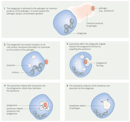 small resolution of 5 2 phagocytosis