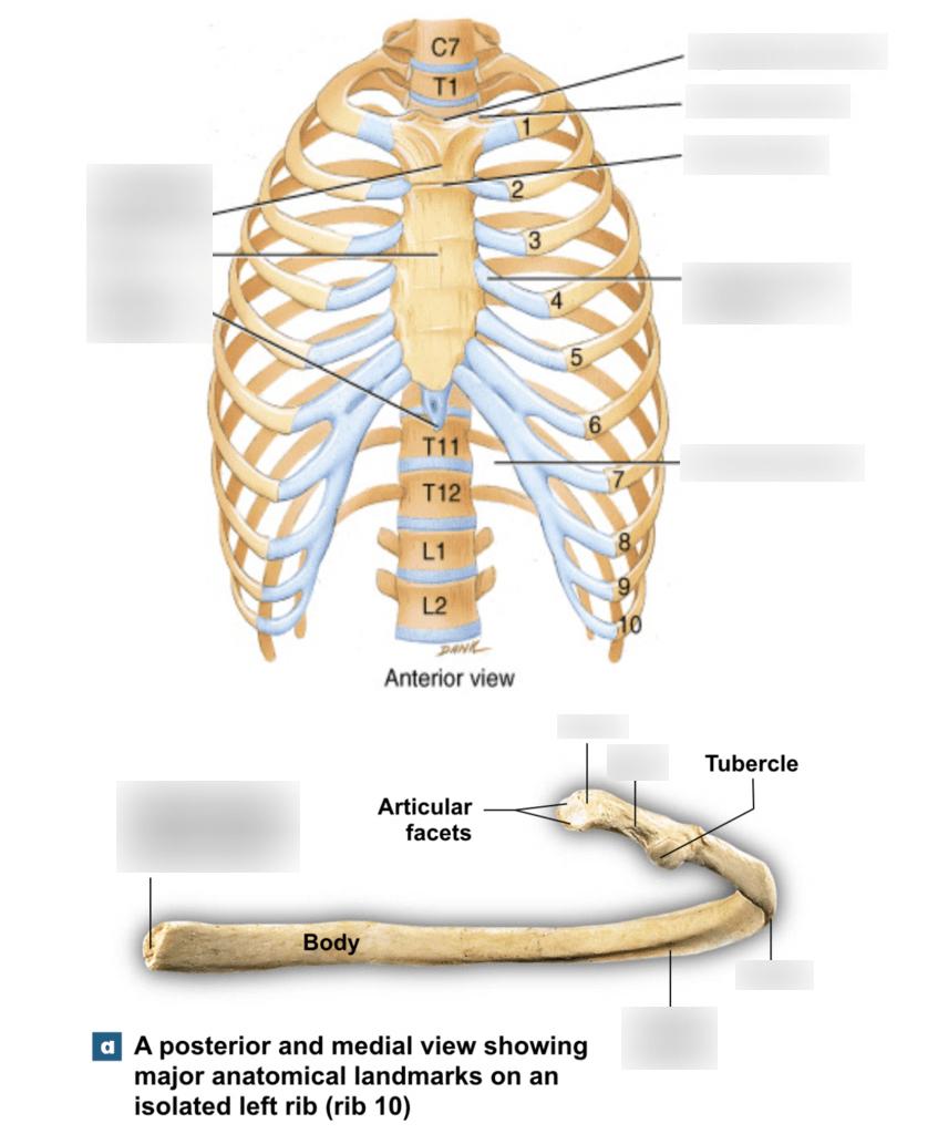 medium resolution of unit 3 thoracic bones diagram quizlet diagram of sternum and ribs rib bone diagram