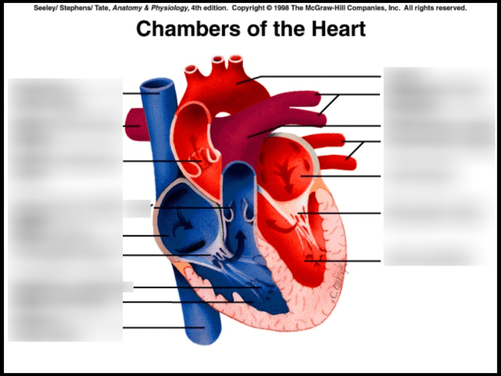 medium resolution of heart chambers labeling