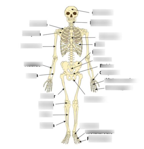 small resolution of pig human skeleton