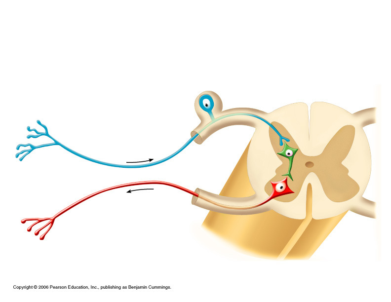 reflex arc diagram which markets are represented in the simple circular flow quizlet location