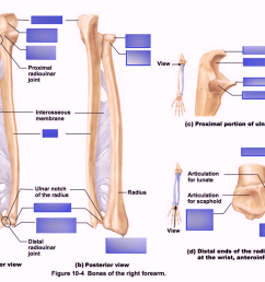 ulna diagram neck [ 1024 x 791 Pixel ]