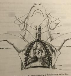 chest of fetal pig label diagram quizlet pig diagram label [ 1024 x 768 Pixel ]