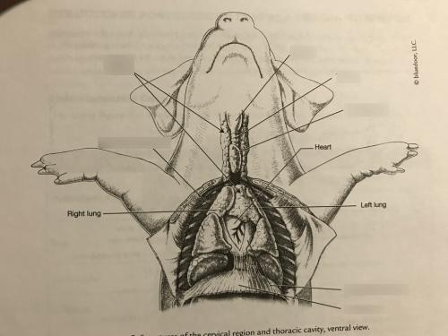 small resolution of chest of fetal pig label diagram quizlet pig diagram label