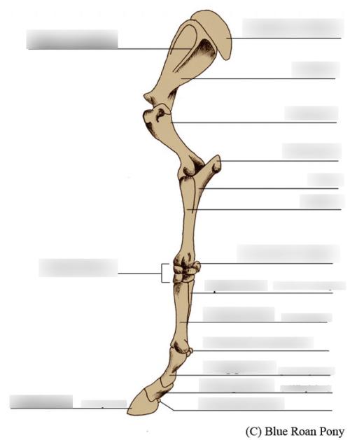 small resolution of horse leg skeletal diagram diagram quizlet horse leg bones diagram horse leg bones diagram