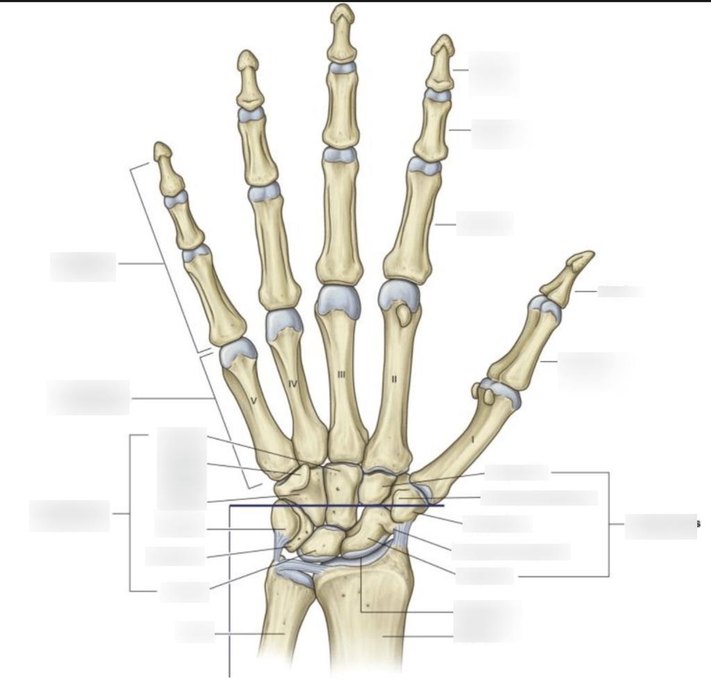 hight resolution of bone labeling diagram