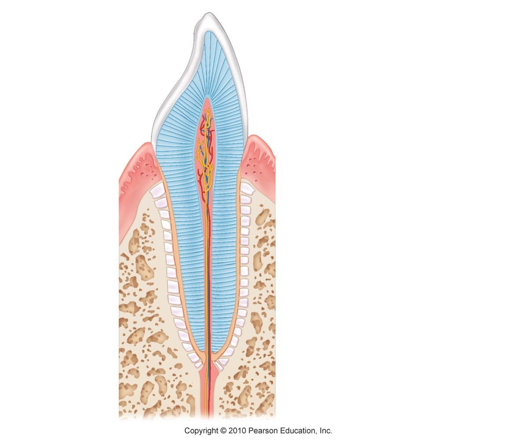 32 Label The Tooth Diagram