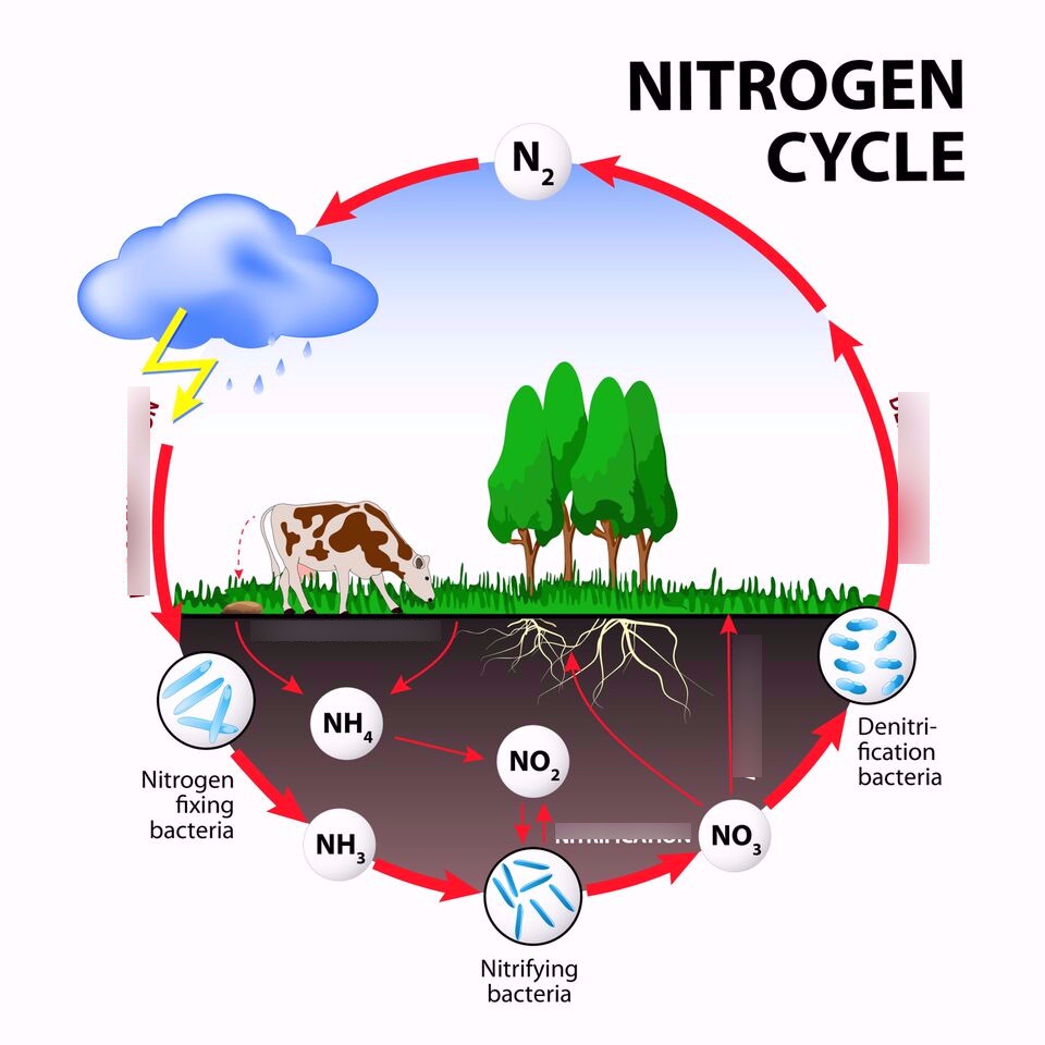 medium resolution of the nitrogen cycle diagram quizlet simple diagram showing nitrogen cycle
