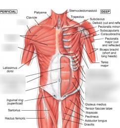 anterior torso muscles [ 1024 x 953 Pixel ]