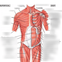 Upper Leg Muscles Diagram Sheep Eye Labeled Lab 10 Of Body Quizlet Location