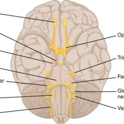 Vagus Nerve Diagram 1995 Chevy S10 Tail Light Wiring Cranial Nerves Quizlet Location