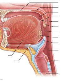 diagram oral cavity [ 1024 x 849 Pixel ]