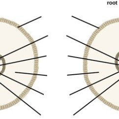 Dicot Root Diagram Dual Source Energy Meter Wiring Monocot And Quizlet Location