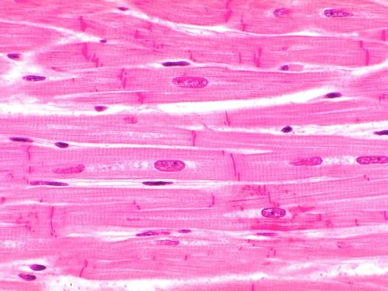 cardiac muscle tissue diagram labeled er for library labeling quizlet location