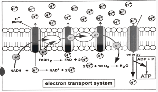 electron transport chain diagram for dummies winch reversing solenoid wiring quizlet location