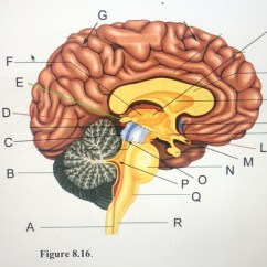 Brain Diagram Pons 1999 Ford F350 Radio Wiring Psychobiology 1 2 Quizlet Location