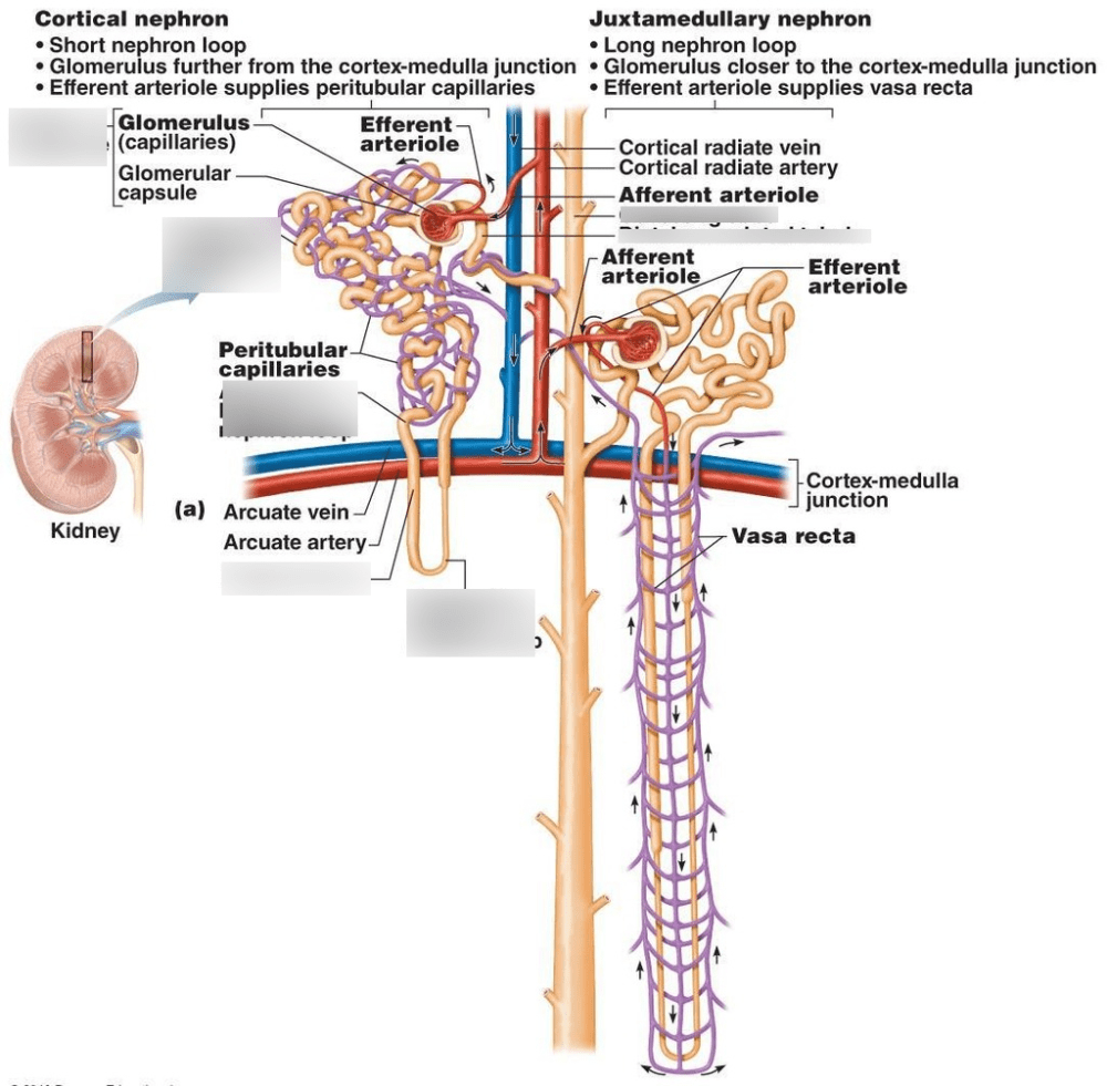 medium resolution of diagram of nephron w key