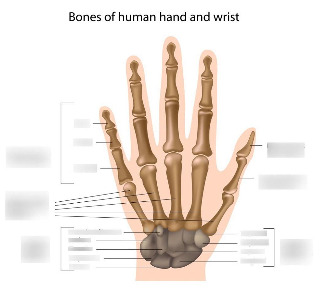 medium resolution of hcc coleman radr 1411 hand and wrist bone labeling quiz diagram quizlet