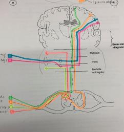 diagram of sensory pathway [ 1022 x 834 Pixel ]