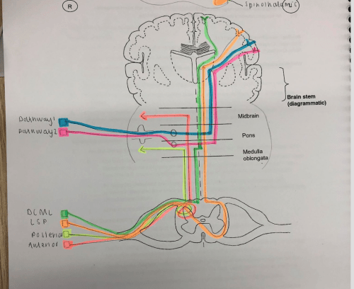 small resolution of diagram of sensory pathway