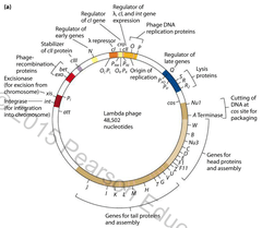 Chapter 14 (and a little bit of 8): Regulation of Gene