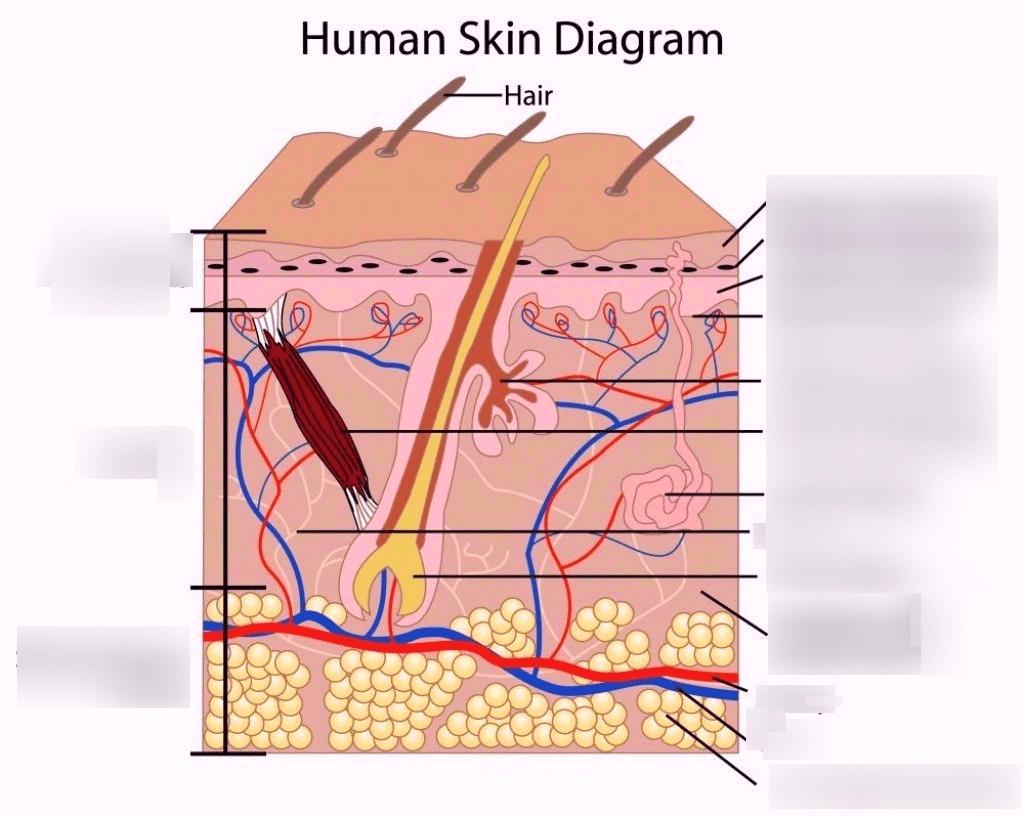 hight resolution of anatomy integumentary system