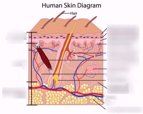small resolution of anatomy integumentary system