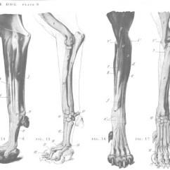 Dog Bone Diagram Car Electrical Wiring Diagrams Leg Bones Data Schema Front Quizlet Arm
