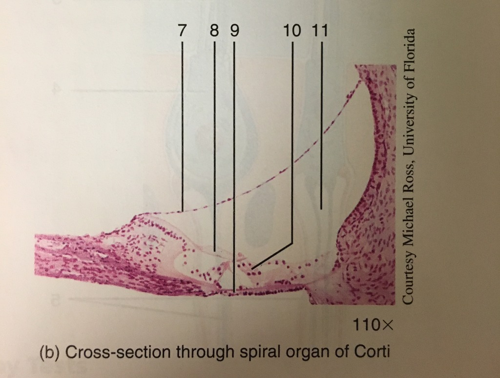 hight resolution of photomicrographs pf the cochlea and spiral organ of corti part 2