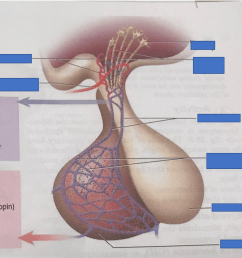 figure 25 2 a pituitary gland overview of the pituitary gland diagram quizlet [ 999 x 884 Pixel ]